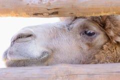 双峰驼动物 库存图片