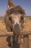 双峰驼卡扎克斯坦纵向 免版税库存照片
