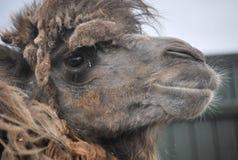 双峰驼在徒步旅行队公园 免版税库存图片