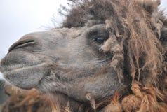 双峰驼在徒步旅行队公园 库存图片