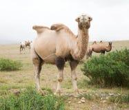 双峰驼牧群 免版税库存照片