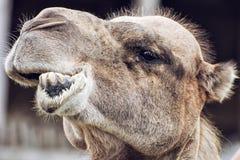 双峰驼特写镜头疯狂的画象,动物面孔 库存图片