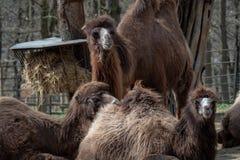 双峰驼骆驼属bactrianus 免版税库存图片