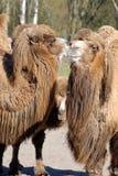 双峰驼,骆驼属bactrian 免版税图库摄影