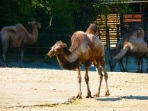 双峰驼(骆驼属bactrianus,骆驼属ferus) 免版税库存照片