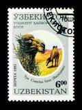 双峰驼(骆驼属bactrianus ferus),塔什干动物园serie, c 库存图片