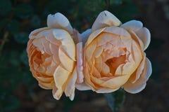 双玫瑰 图库摄影
