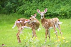 双白色被盯梢的鹿小鹿 免版税库存照片