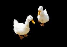 双白色鸭子 免版税图库摄影