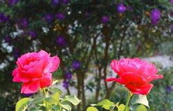 双红色玫瑰 库存图片