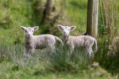 双羊羔 免版税图库摄影