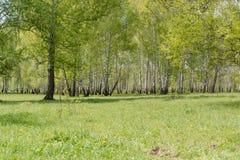 双翼飞机 桦树木头 它是很多桦树 免版税图库摄影