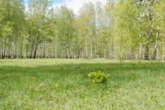 双翼飞机 桦树木头 它是很多桦树 图库摄影