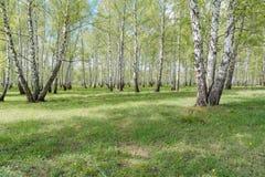 双翼飞机 桦树木头 它是很多桦树 库存图片