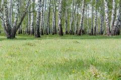 双翼飞机 桦树木头 它是很多桦树 免版税库存照片