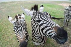双胞胎斑马 免版税图库摄影