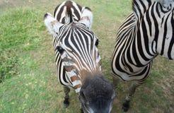 双胞胎斑马 免版税库存图片