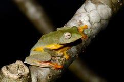 双胞胎被察觉的Treefrog (Rhacophorus bipunctatus) 库存照片