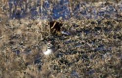 双胸斑沙鸟在池塘伪装的珩科鸟鸟用茅草盖,乔治亚美国 免版税库存照片