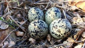 双胸斑沙鸟在被伪装的巢的珩科鸟鸡蛋 库存照片
