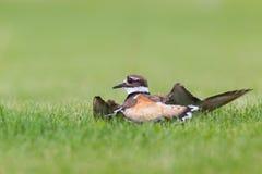 双胸斑沙鸟行动 库存图片