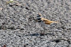双胸斑沙鸟鸟 库存图片