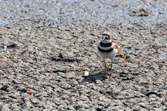 双胸斑沙鸟鸟 库存照片