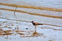 双胸斑沙鸟 免版税库存图片