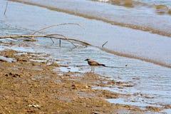 双胸斑沙鸟 库存照片