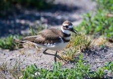 双胸斑沙鸟 免版税图库摄影