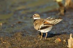 双胸斑沙鸟(Charadrius vociferus) 免版税库存图片