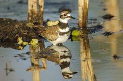 双胸斑沙鸟(Charadrius vociferus) 库存照片