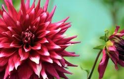 双色的叶茂盛花 免版税库存图片