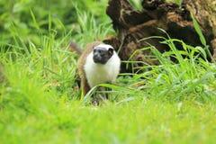 双色的拉丁命名染色saguinus绢毛猴 库存照片