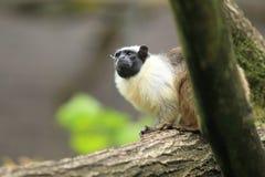 双色的拉丁命名染色saguinus绢毛猴 免版税库存照片