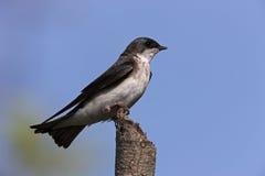 双色的燕子tachycineta结构树 免版税图库摄影