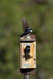 双色的燕子tachycineta结构树 免版税库存图片