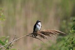 双色的燕子tachycineta结构树 免版税库存照片