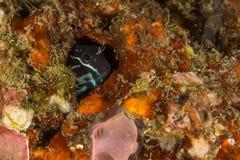 双色的粘鱼ecsenius 免版税库存图片