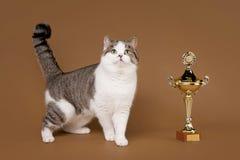 双色的苏格兰平直的猫 库存图片