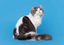 双色的高地平直的猫 图库摄影