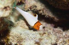 双色的鹦嘴鱼 免版税图库摄影