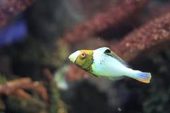 双色的鹦嘴鱼 免版税库存照片
