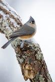 双色的parus北美山雀簇生了 库存图片