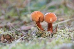 双蘑菇在弗罗斯特 免版税库存图片