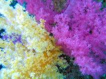 双软颜色的珊瑚 库存图片