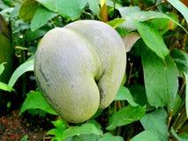 双重坚果椰树de mer Seychellelles坚果 免版税库存图片