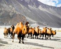 双重小丘骆驼 库存图片