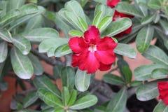 双重形式红色沙漠座莲花 图库摄影