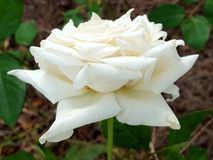 双重瓣白色玫瑰 免版税图库摄影